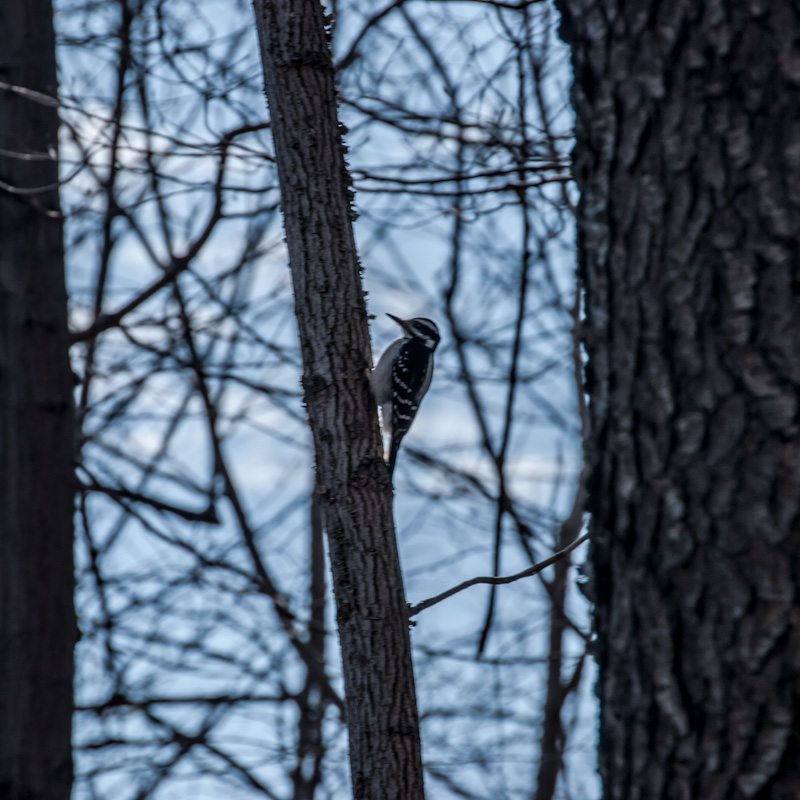 Downy Woodpecker on Mount Royal