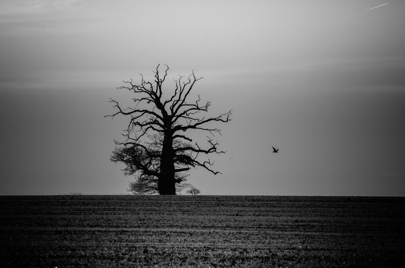 Lonely Tree, Little Easton