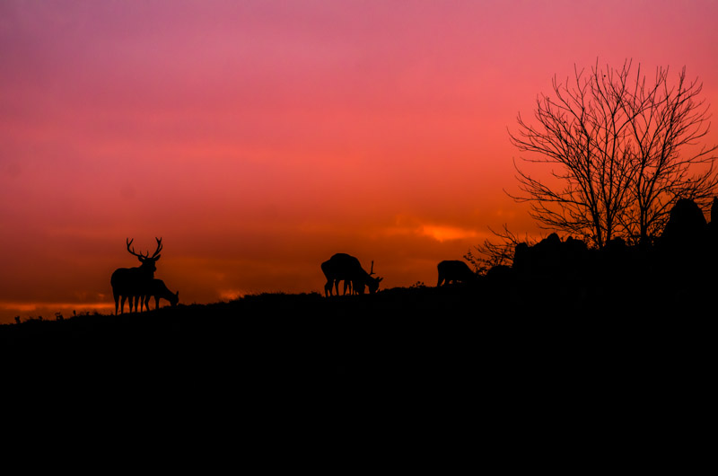 Bradgate Park deer at sunset
