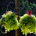 Hanging basket at Place du Canada