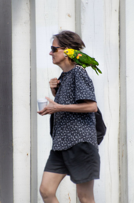 Taking the parrot for a walk