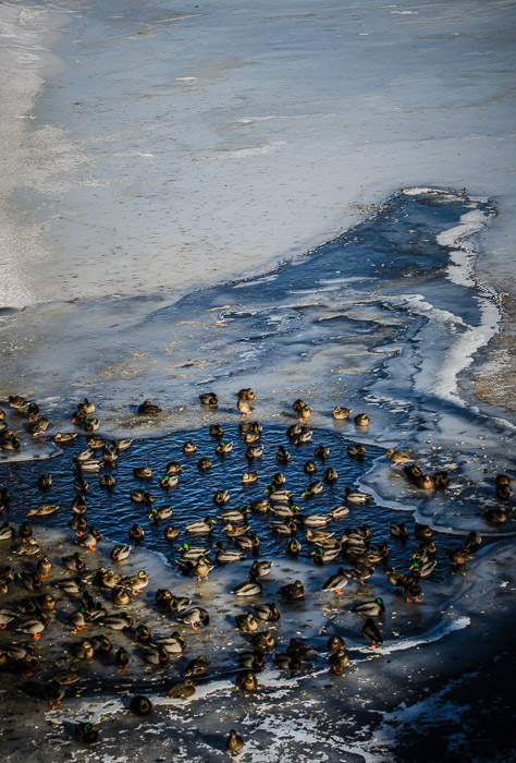 Ducks on frozen Lachine Canal