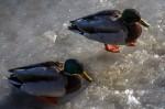 Duck's waiting for a spot