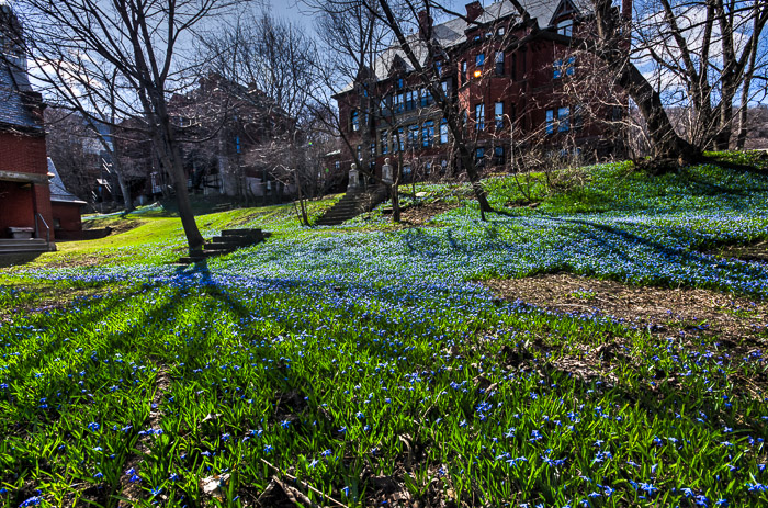 Bluebells at McGill