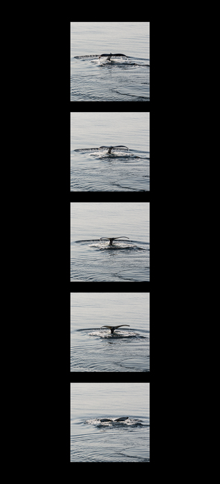 Humpback Whale diving sequence