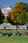 Canadian Geese at Bassin Bonsecours